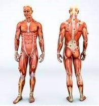 muscle skeletal
