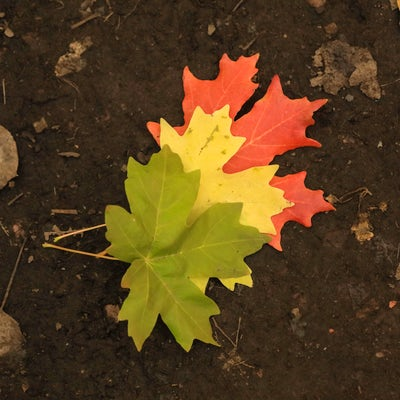 A red, yellow, and green leaf stacked from bottom to top on the ground